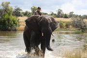 elefante traversata